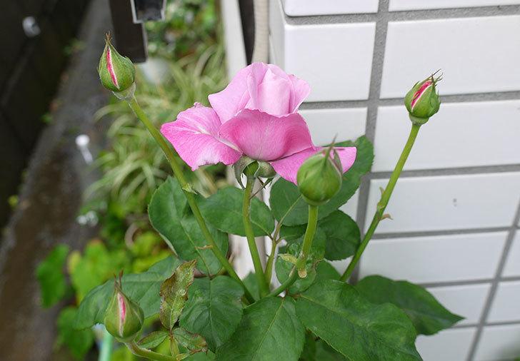 シャルルドゴール(バラ)の2番花が咲き始めた。2015年-3.jpg