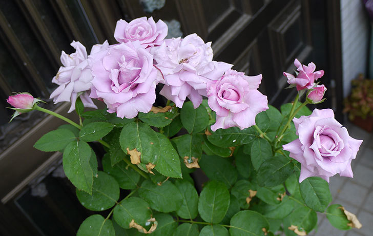 シャルルドゴール(バラ)の3番花がたくさん咲いた。2015年-1.jpg