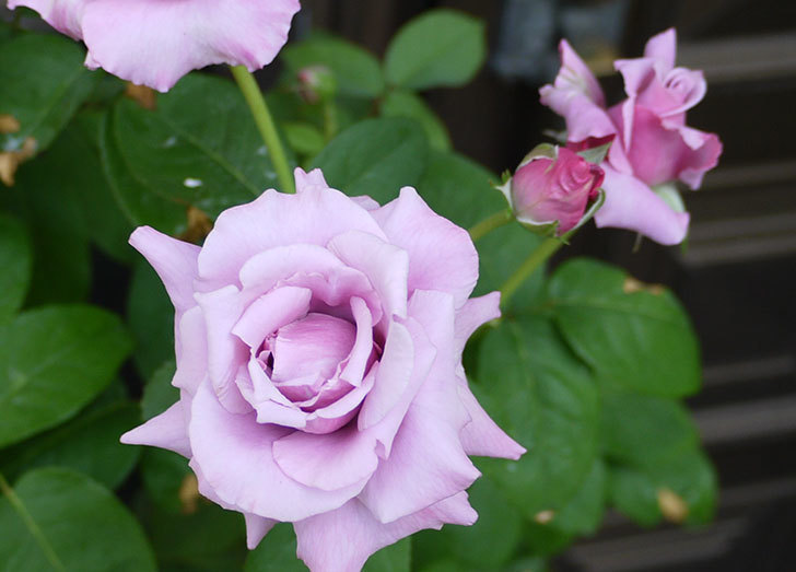 シャルルドゴール(バラ)の3番花がたくさん咲いた。2015年-2.jpg