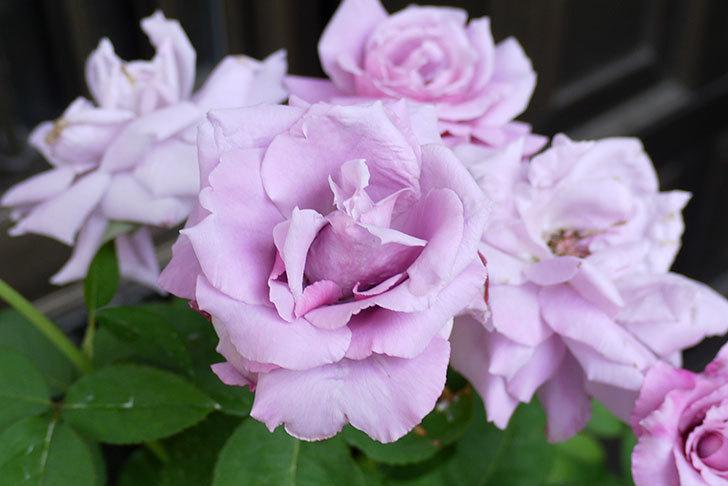 シャルルドゴール(バラ)の3番花がたくさん咲いた。2015年-3.jpg