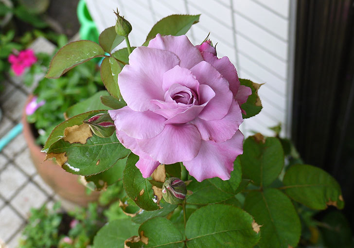 シャルルドゴール(バラ)の3番花が咲き始めた。2015年-1.jpg