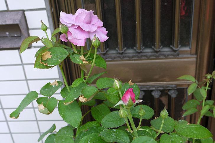 シャルルドゴール(バラ)の3番花が咲き始めた。2015年-2.jpg