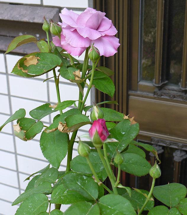 シャルルドゴール(バラ)の3番花が咲き始めた。2015年-3.jpg
