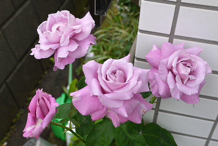 シャルルドゴール(バラ)の花がたくさん咲いた。2015年-1.jpg