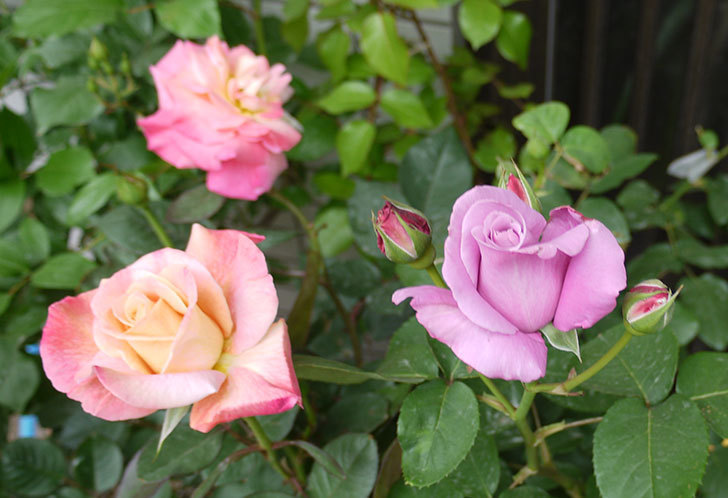 シャルルドゴール(バラ)の花が咲いた。2016年-4.jpg