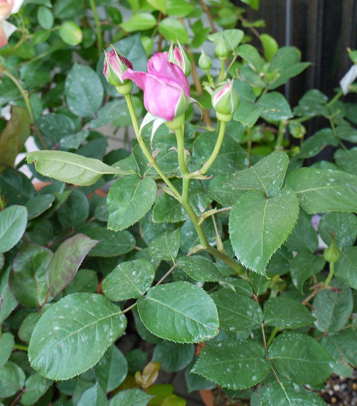 シャルルドゴール(バラ)の蕾から香りがただよってきた。2016年-3.jpg