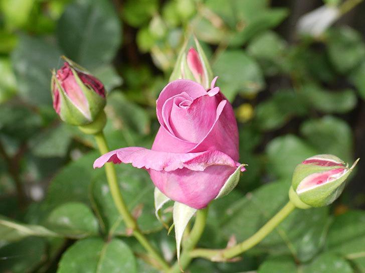 シャルルドゴール(バラ)の蕾から香りがただよってきた。2016年-4.jpg