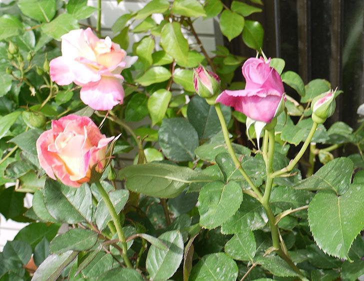 シャルルドゴール(バラ)の蕾から香りがただよってきた。2016年-5.jpg