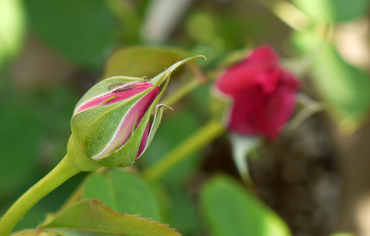 シャルルドゴール(バラ)の蕾が膨らんできた2.jpg