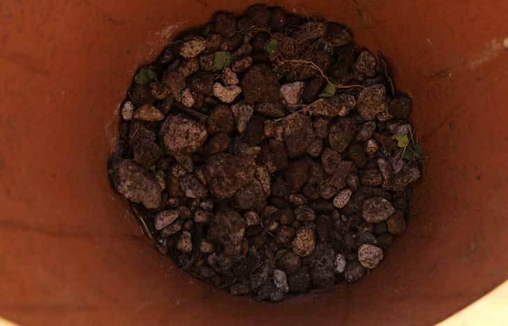 シャルルドゴール(バラ)を一回り大きい鉢に植え替えた10.jpg