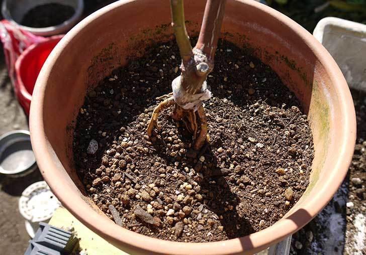 シャルルドゴール(バラ)を一回り大きい鉢に植え替えた12.jpg