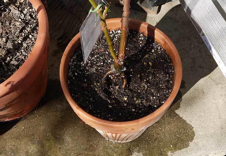 シャルルドゴール(バラ)を一回り大きい鉢に植え替えた13.jpg