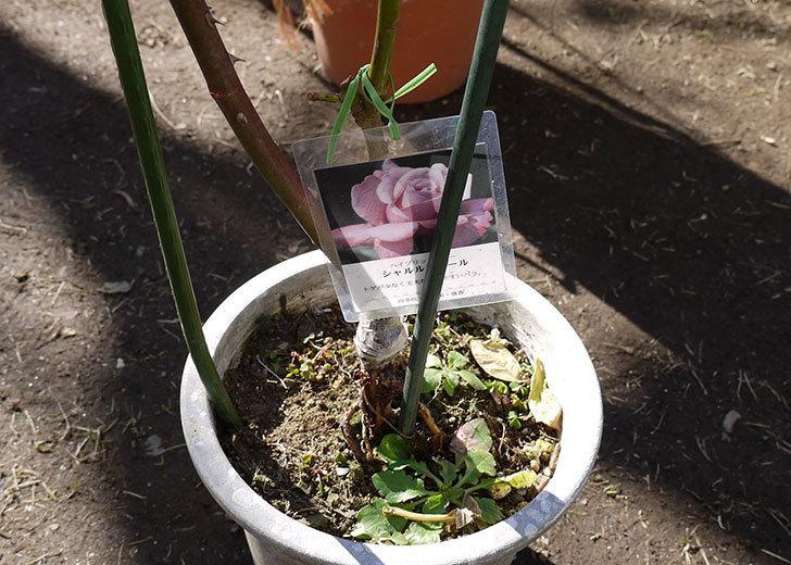 シャルルドゴール(バラ)を一回り大きい鉢に植え替えた4.jpg