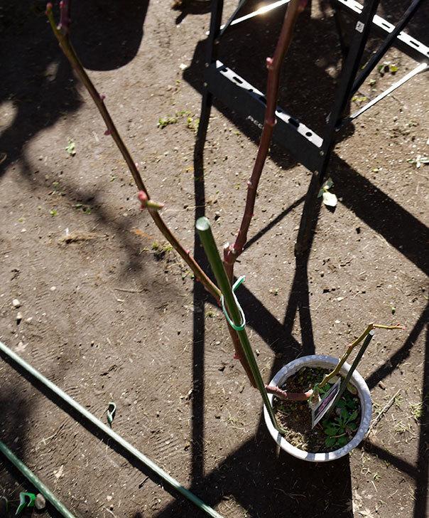 シャルルドゴール(バラ)を一回り大きい鉢に植え替えた6.jpg