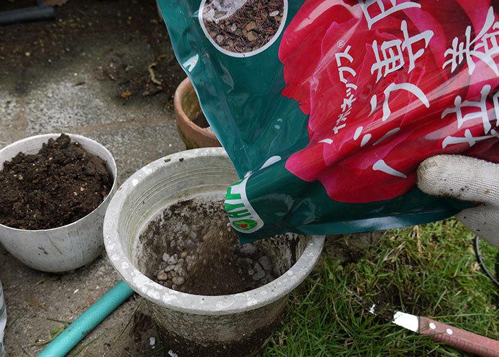シャルルドゴール(バラ)を鉢に植え替えた3.jpg