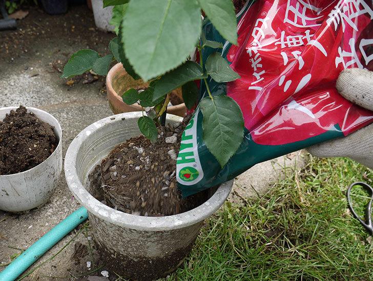 シャルルドゴール(バラ)を鉢に植え替えた6.jpg