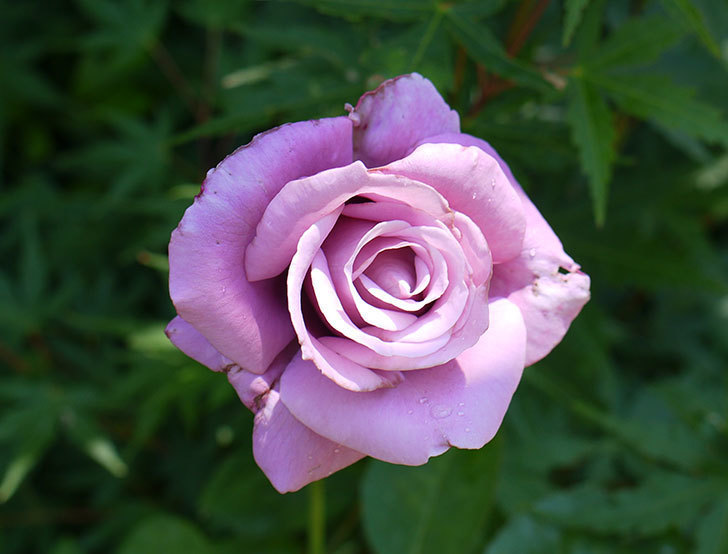 シャルルドゴール(木立バラ)の2番花が咲いた。2016年-1.jpg