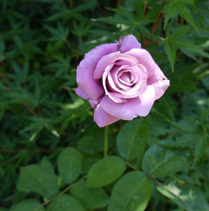 シャルルドゴール(木立バラ)の2番花が咲いた。2016年-2.jpg
