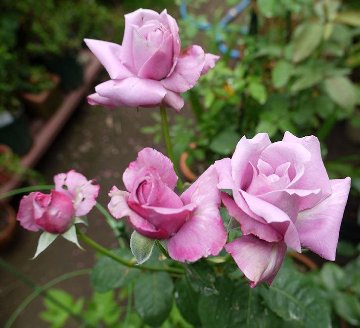 シャルルドゴール(木立バラ)の3番花が4個咲いた。2016年-1.jpg