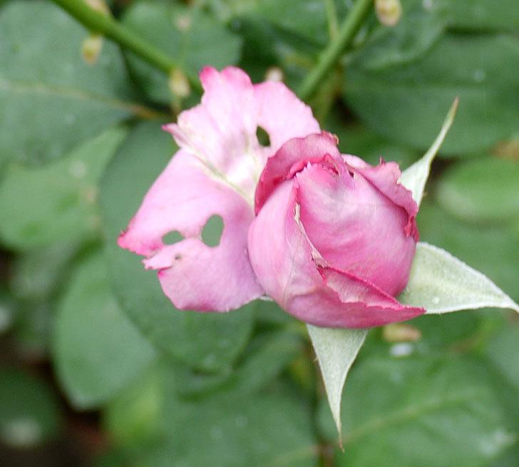 シャルルドゴール(木立バラ)の3番花が4個咲いた。2016年-7.jpg