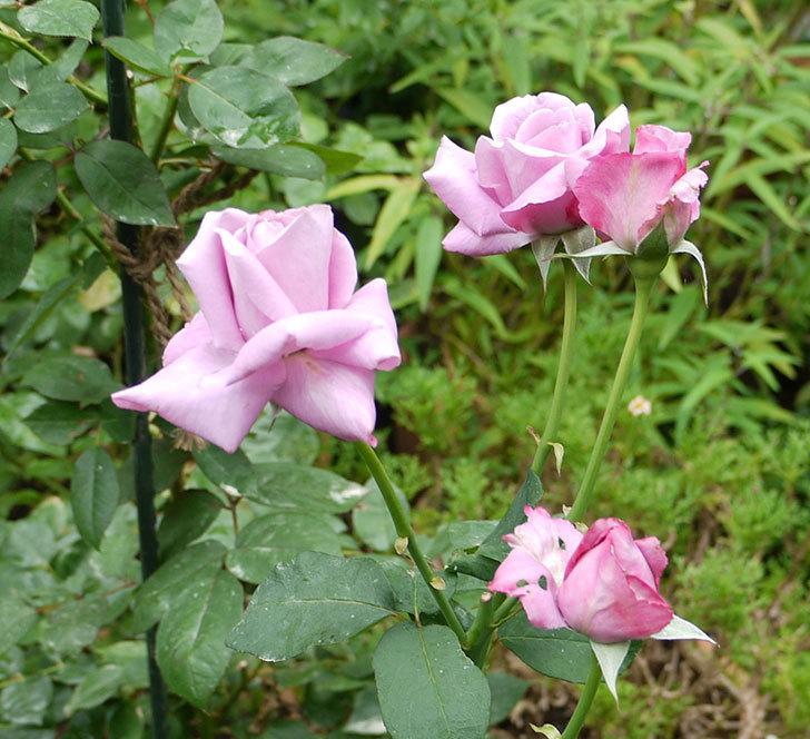 シャルルドゴール(木立バラ)の3番花が4個咲いた。2016年-8.jpg