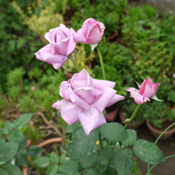 シャルルドゴール(木立バラ)の3番花が4個咲いた。2016年-9.jpg