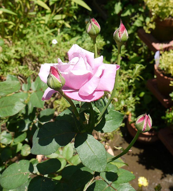 シャルルドゴール(木立バラ)の3番花が咲いた。2016年-2.jpg