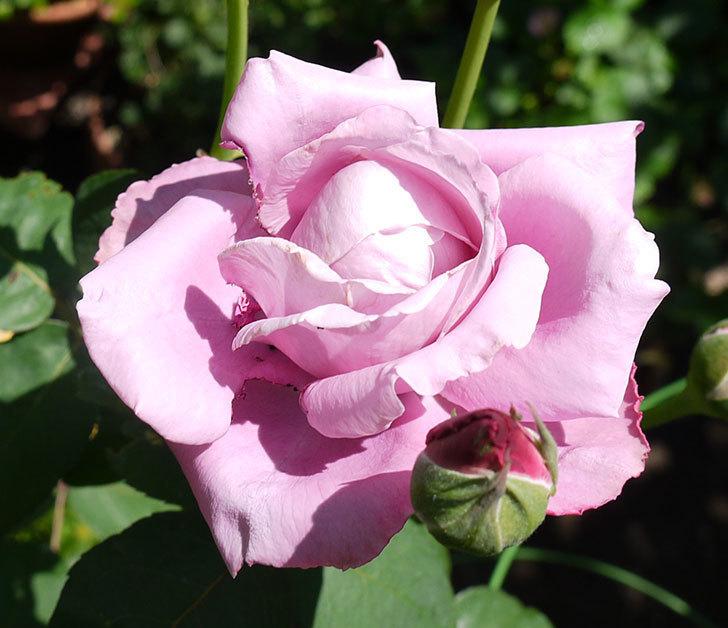 シャルルドゴール(木立バラ)の3番花が咲いた。2016年-3.jpg