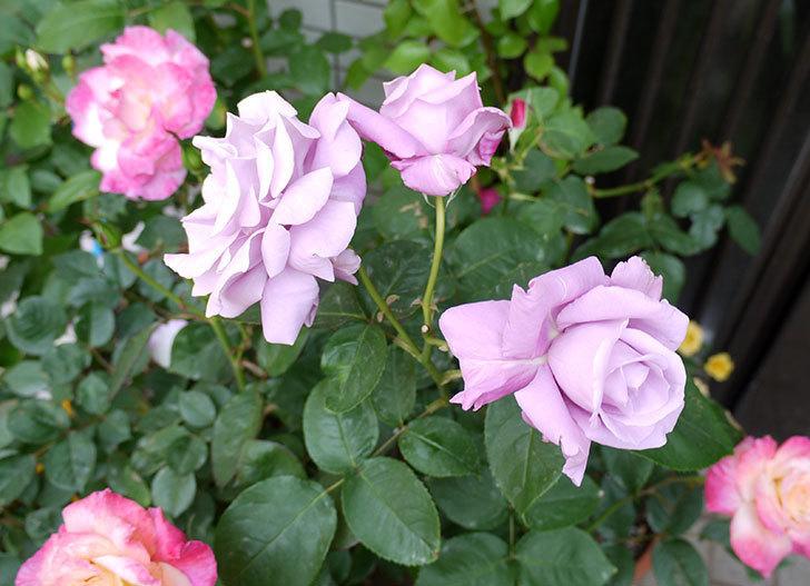 シャルルドゴール(木立バラ)の花が3個咲いた。2016年-2.jpg