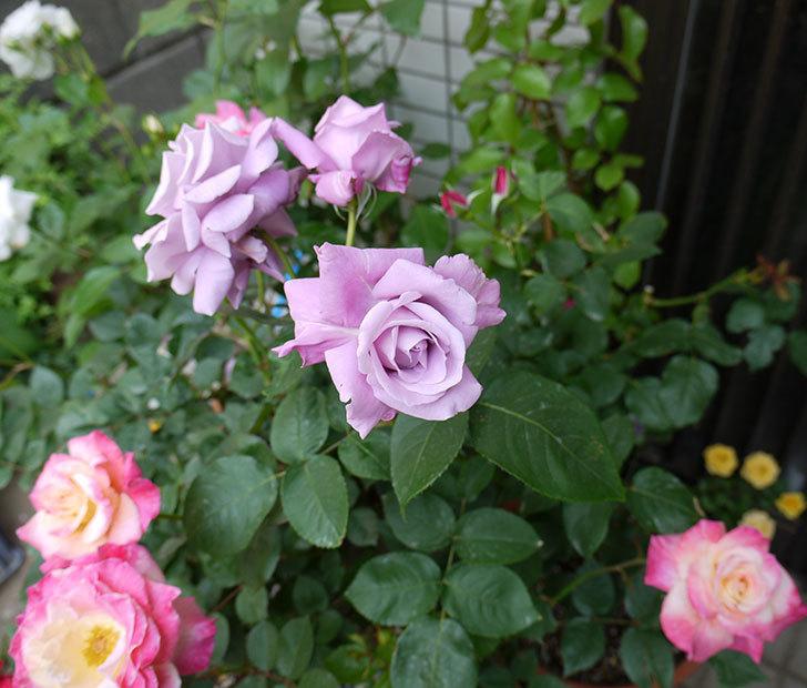 シャルルドゴール(木立バラ)の花が3個咲いた。2016年-4.jpg
