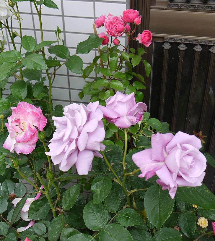 シャルルドゴール(木立バラ)の花が3個咲いた。2016年-5.jpg
