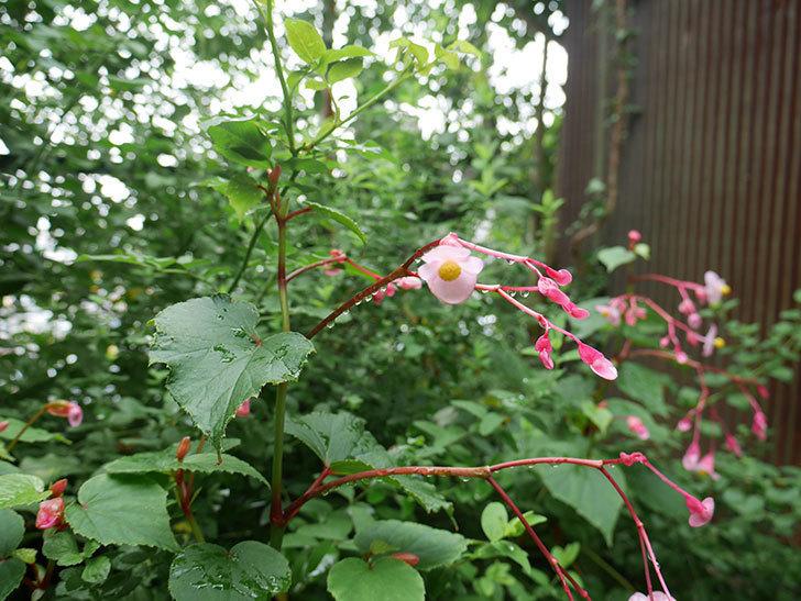 シュウカイドウ(秋海棠)が咲いた。2017年-6.jpg