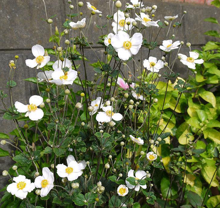シュウメイギクがたくさん咲いた。2016年-1.jpg