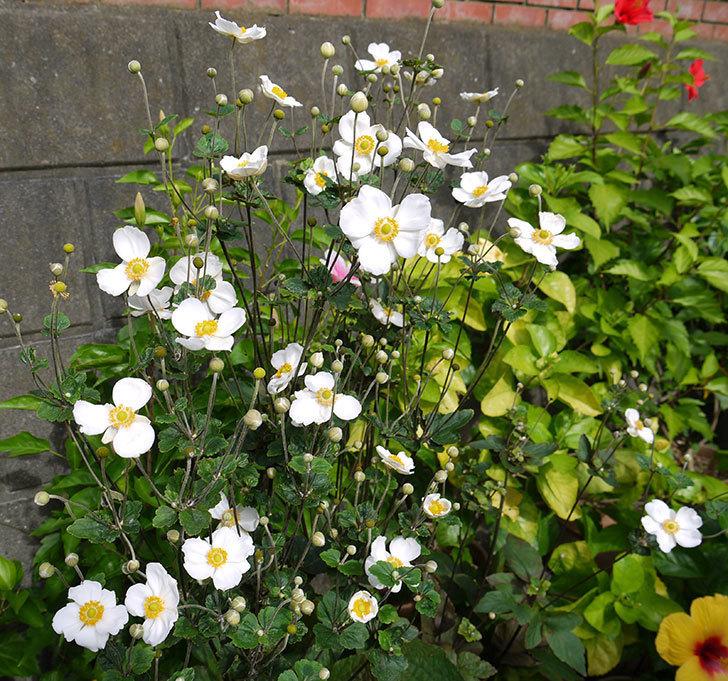 シュウメイギクがたくさん咲いた。2016年-3.jpg
