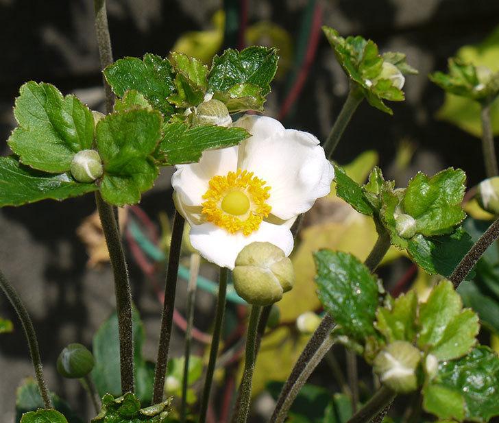 シュウメイギクが咲き始めた。2016年-1.jpg