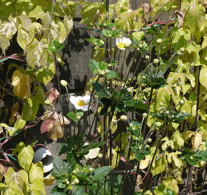 シュウメイギクが咲き始めた。2016年-2.jpg