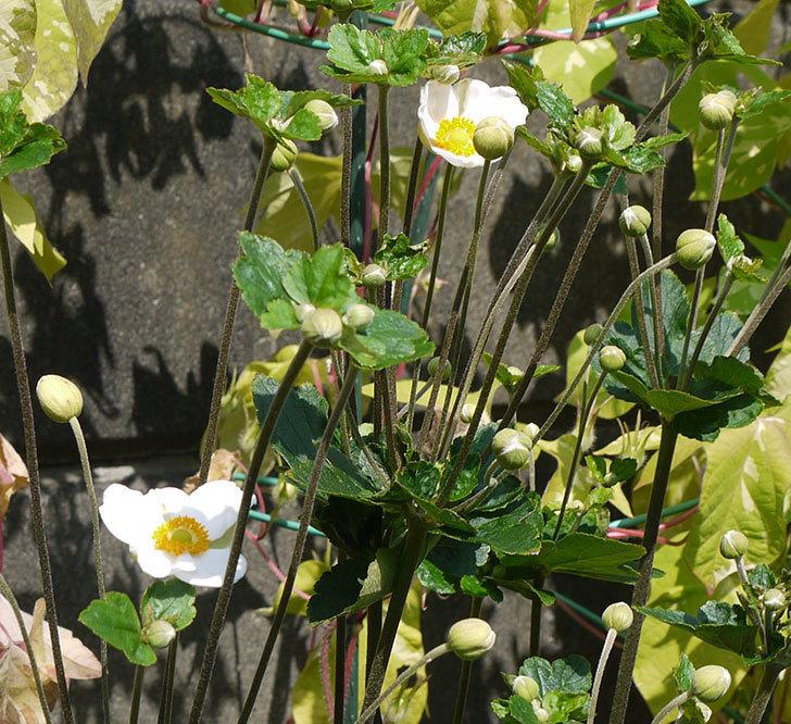 シュウメイギクが咲き始めた。2016年-3.jpg