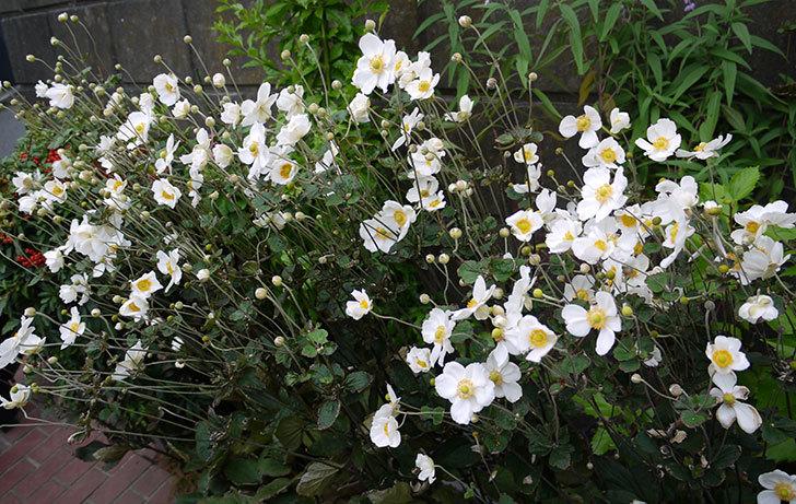 シュウメイギクが大量に咲いた1.jpg