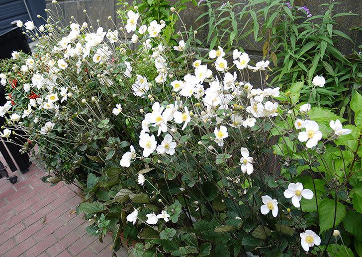 シュウメイギクが大量に咲いた2.jpg