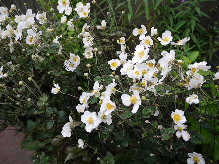 シュウメイギクが大量に咲いた3.jpg