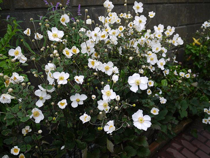 シュウメイギクが大量に咲いた6.jpg