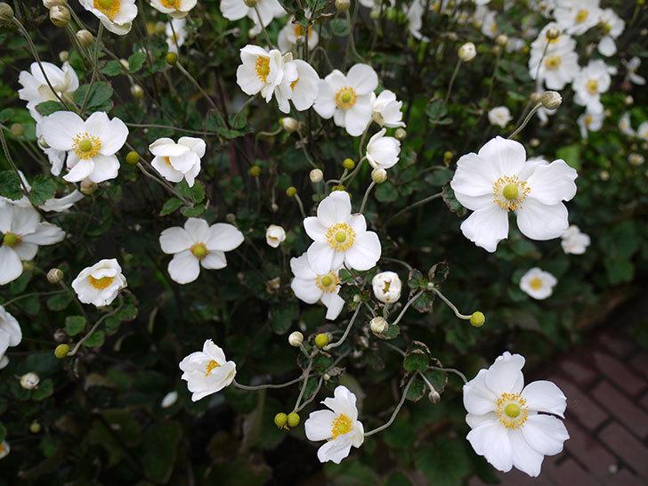 シュウメイギクが大量に咲いた7.jpg