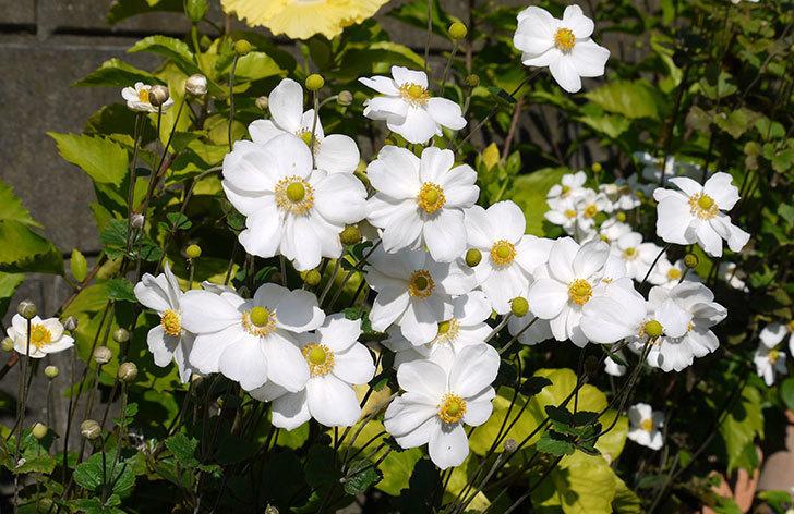 シュウメイギクが綺麗に咲いた。2015年-1.jpg