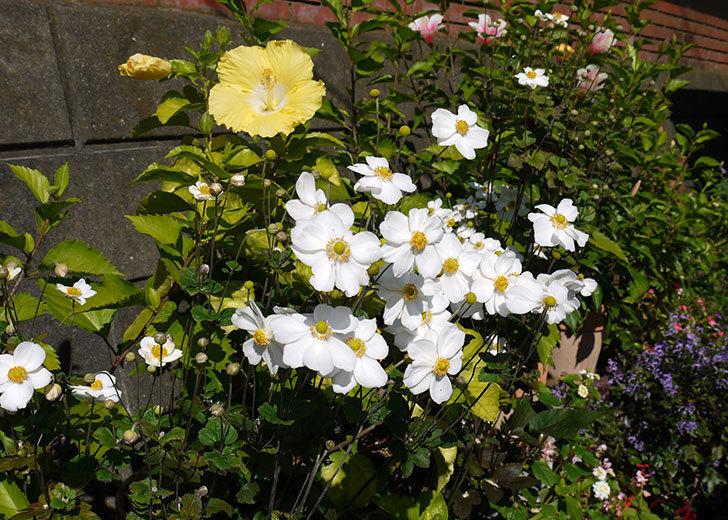 シュウメイギクが綺麗に咲いた。2015年-3.jpg