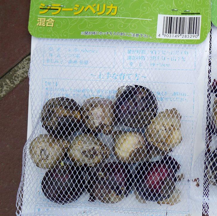 シラー・シベリカの球根がケイヨーデイツーで298円だったので2袋買って来た。2016年-2.jpg