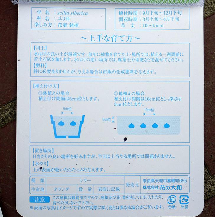 シラー・シベリカの球根がケイヨーデイツーで298円だったので2袋買って来た。2016年-3.jpg