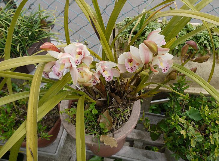 シンビジウムの花が咲いた2.jpg