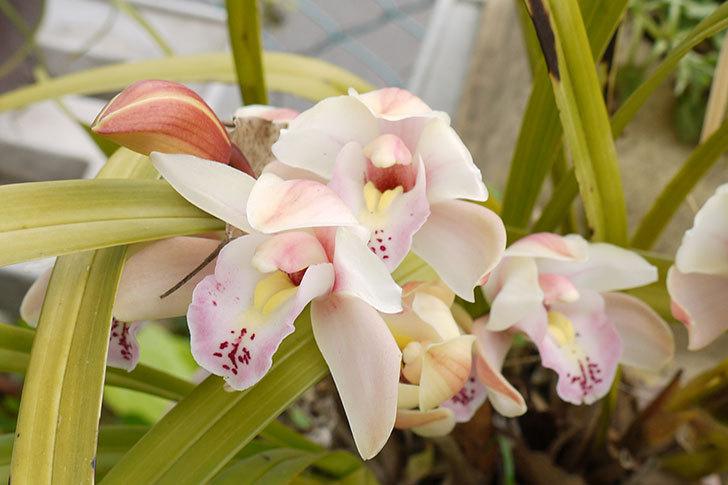 シンビジウムの花が咲いた3.jpg