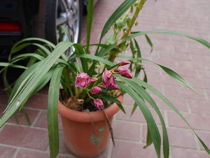 シンビジウムの花が咲いた。2021年-001.jpg