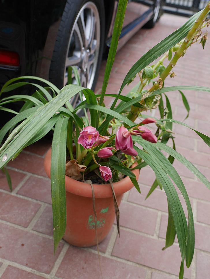 シンビジウムの花が咲いた。2021年-003.jpg